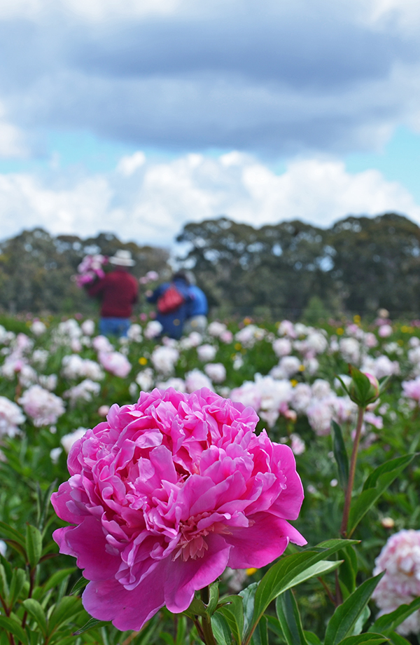 Pink peony in the paddock