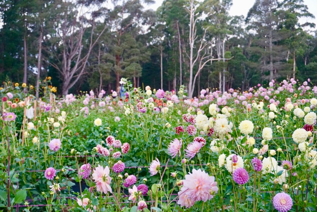 a field of dahlias