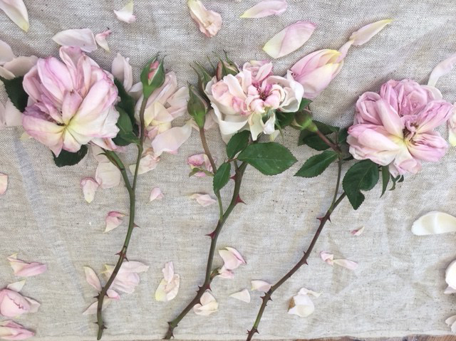 dying pink roses