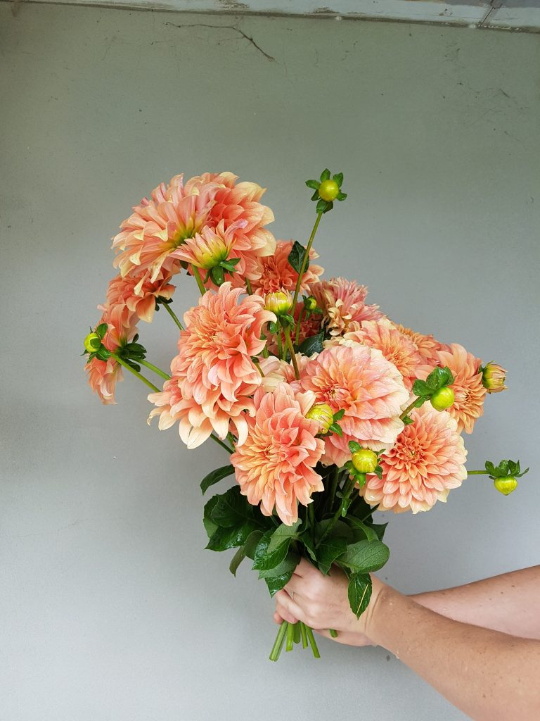 Bunch of apricot dahlias